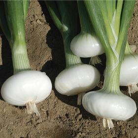 Bianca Di Maggio Cipollini Onions