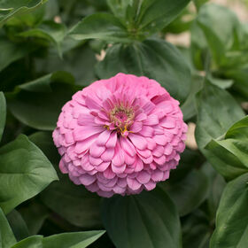 Benary's Giant Bright Pink Tall Zinnias