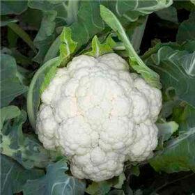 德纳利标准花椰菜