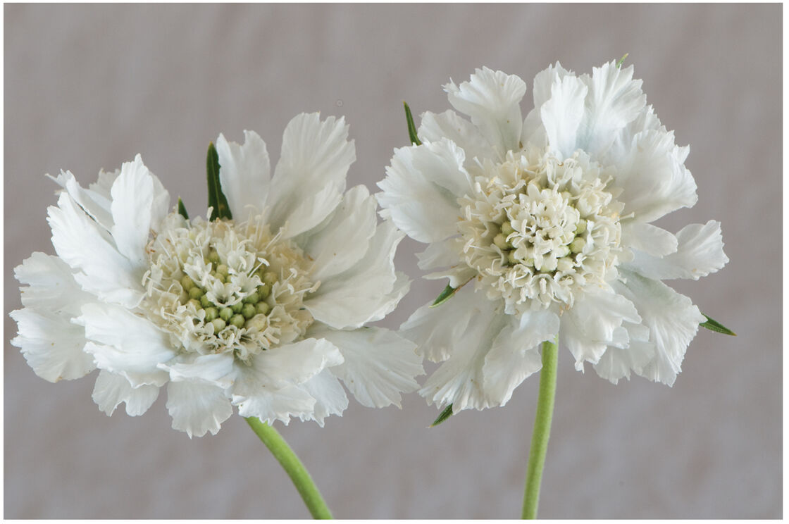 Fama White Scabiosa Seed Johnnys Selected Seeds