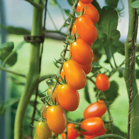 Santorange Grape Tomatoes
