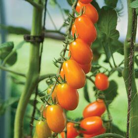圣多兰治葡萄西红柿