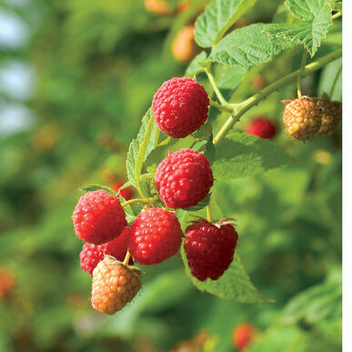 Prelude Raspberry