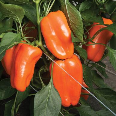 Glow Sweet Peppers