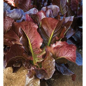 Thurinus Romaine Lettuce (Cos)