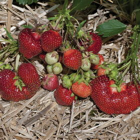 Earliglow Strawberry Bare-Root Plants