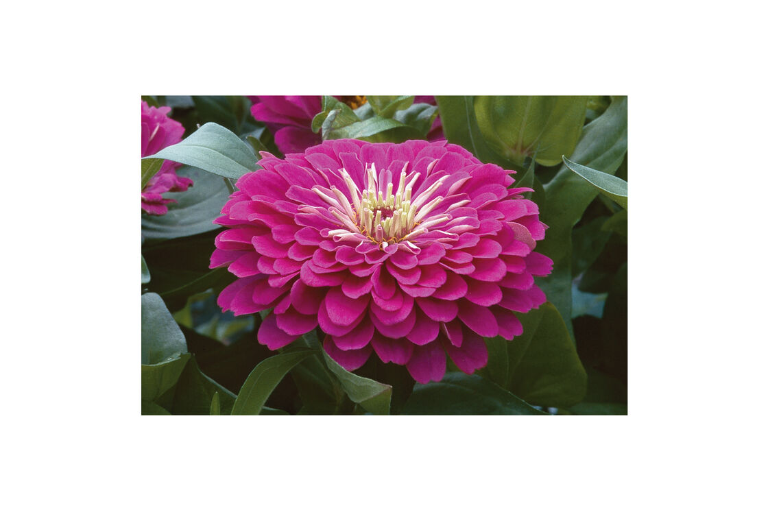 Benarys Giant Purple Zinnia Seed Johnnys Selected Seeds