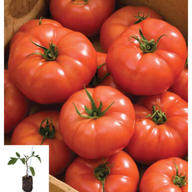 Estamino Grafted Greenhouse Tomato Collection Grafted Tomato Plants