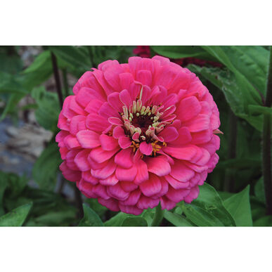 Giant Dahlia Flowered Deep Rose