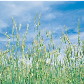 Winter Rye (Common)