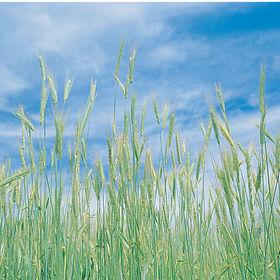 冬季黑麦(常见)冬季黑麦