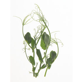 Tendril Pea