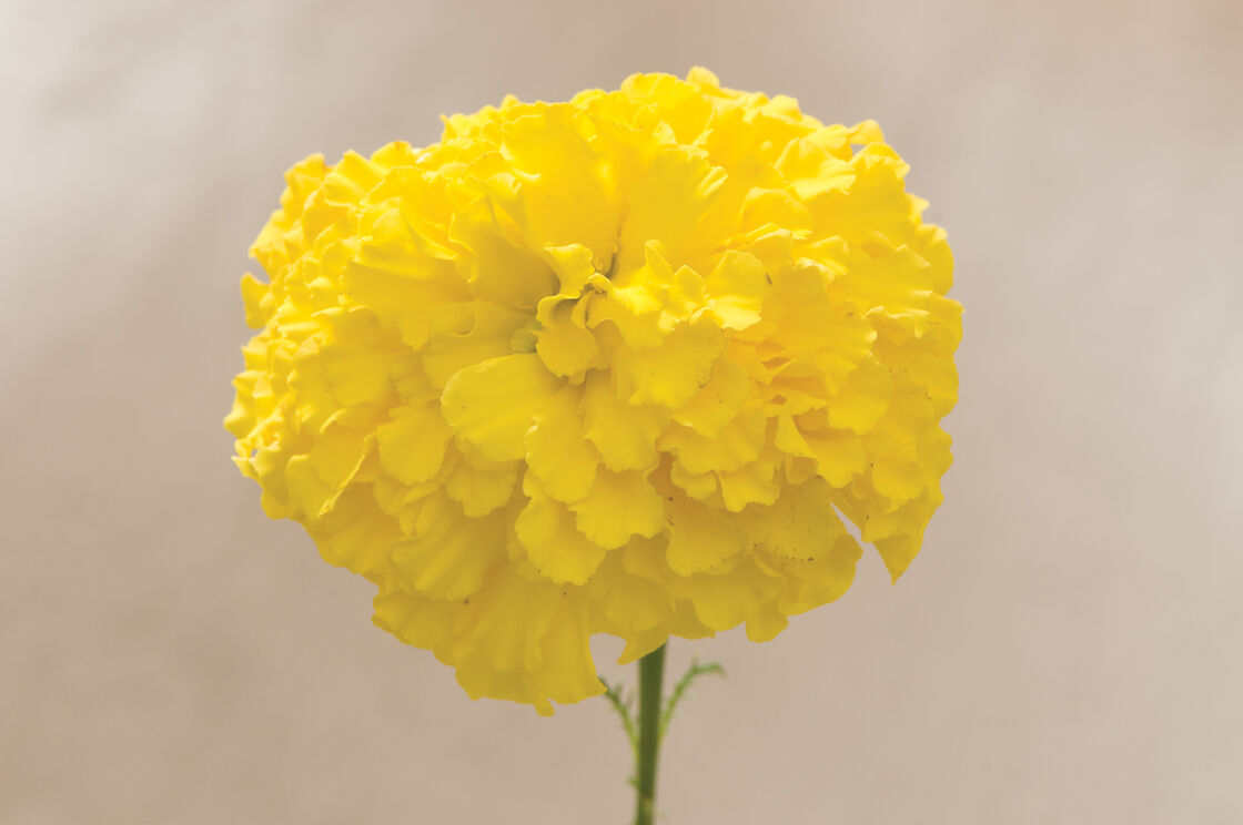 Giant Yellow Marigold Seed Johnnys Selected Seeds