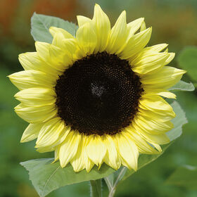 ProCut® Lemon Tall Sunflowers