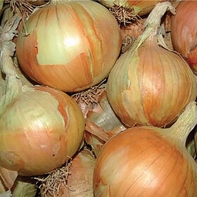 Gabriella Full-Size Onions