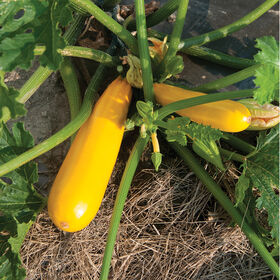 Yellowfin Summer Squash