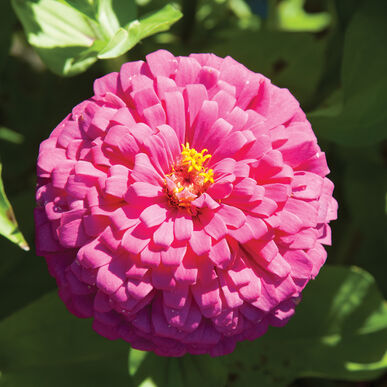Uproar Rose Tall Zinnias