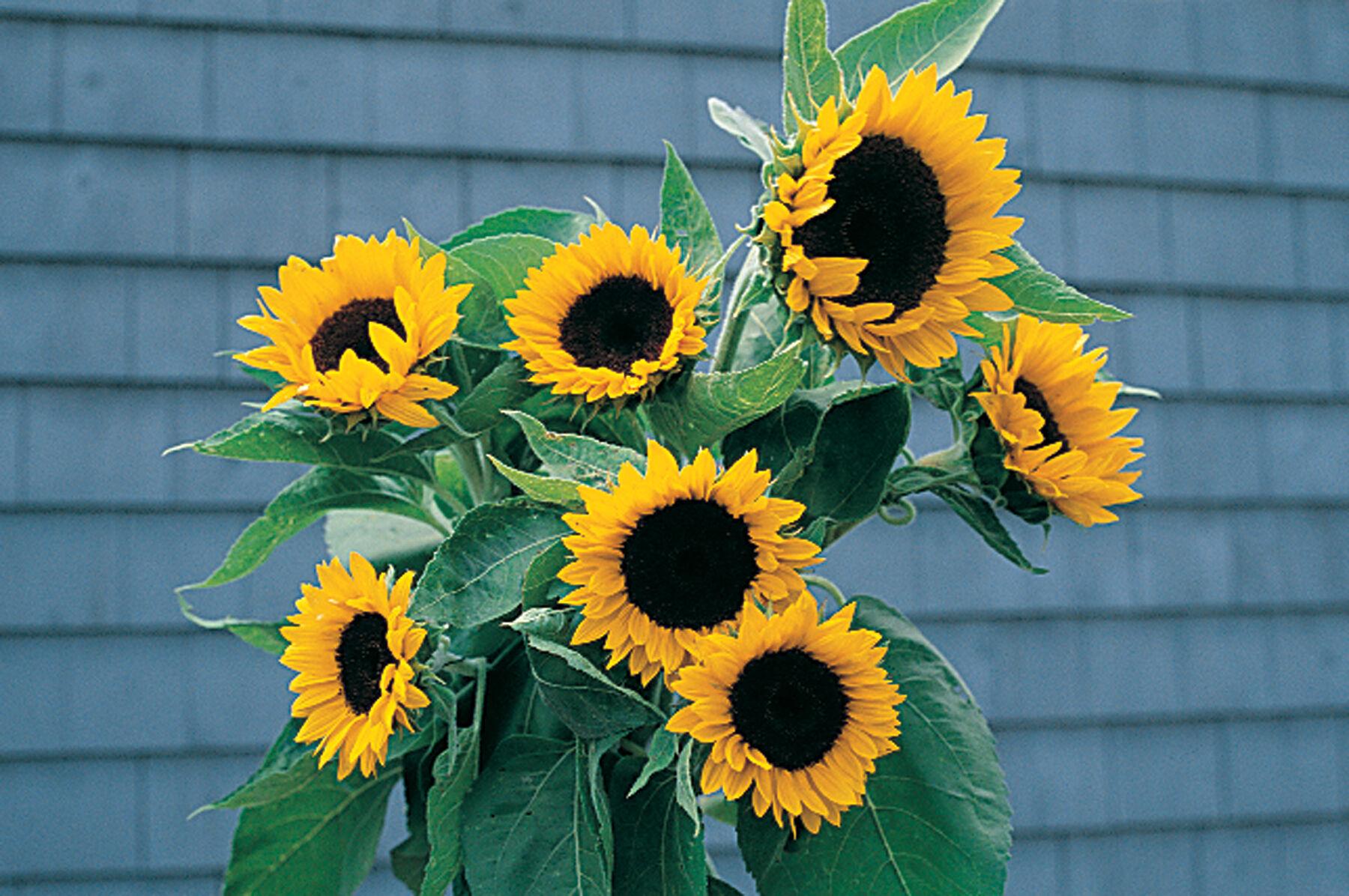 Sunflower days to maturity