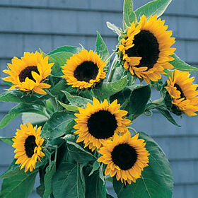 Sunbright Tall, Single Stem Sunflowers