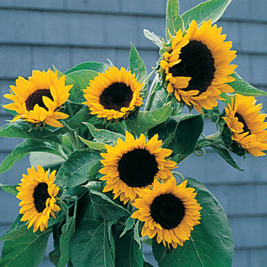 Sunbright f1 sunflower seed johnnys selected seeds sunbright f1 sunflower seed mightylinksfo