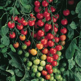 超级草莓100樱桃西红柿