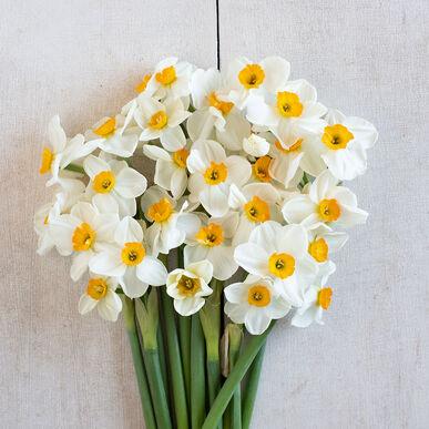 Geranium Narcissus