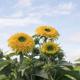 Lemonade Tall, Branching Sunflowers