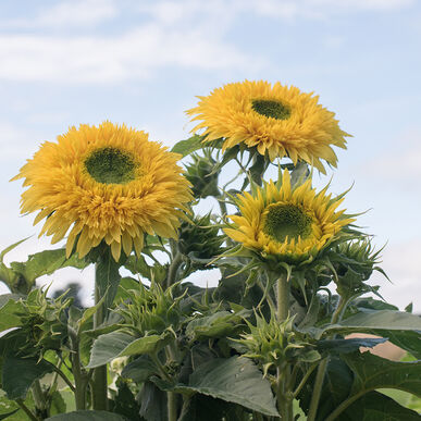 Lemonade Tall Sunflowers