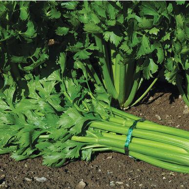Tango Celery