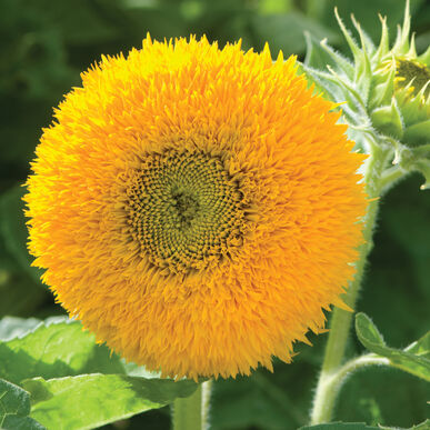 Teddy Bear Dwarf Sunflowers