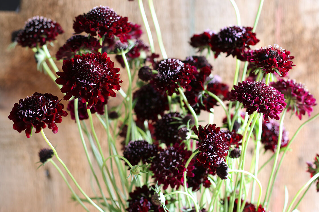 Black Knight Scabiosa Seed Johnnys Selected Seeds