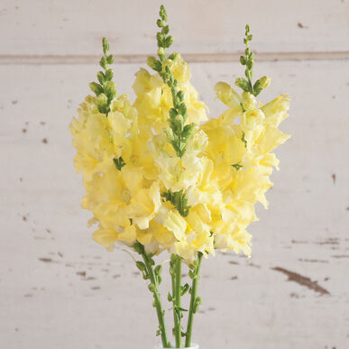 Chantilly Cream Yellow Snapdragon