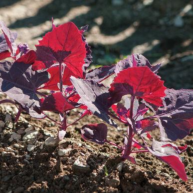 Ruby Red Orach Specialty Greens