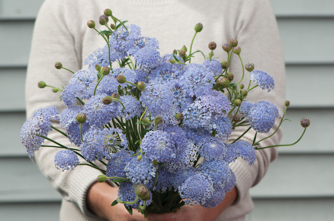 Lacy lavender blue didiscus seed johnnys selected seeds view full size image izmirmasajfo