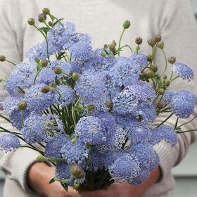 Lacy Lavender Blue Didiscus