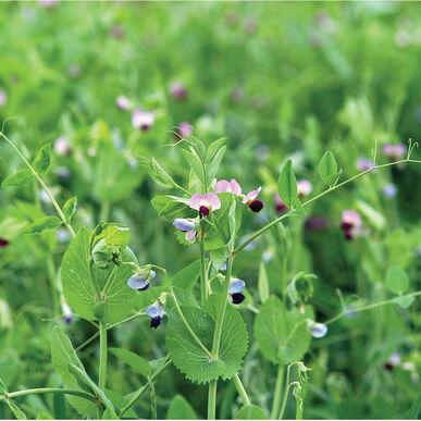 Field Peas (Maxum)