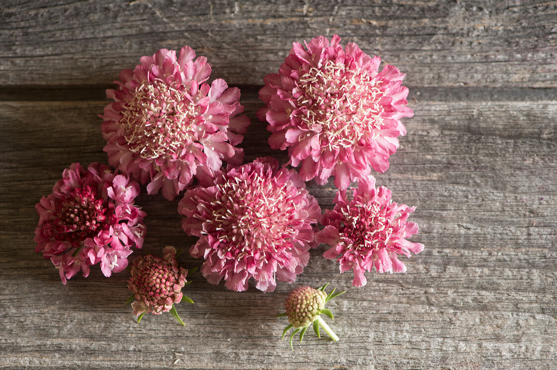 Salmon Rose - Scabiosa Seed | Johnny\'s Selected Seeds