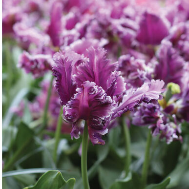 Mysterious Parrot Tulips