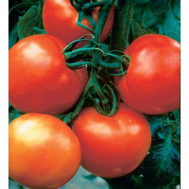 Cobra Slicing Tomatoes