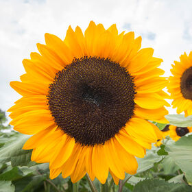 ProCut® Orange Excel Tall, Single Stem Sunflowers