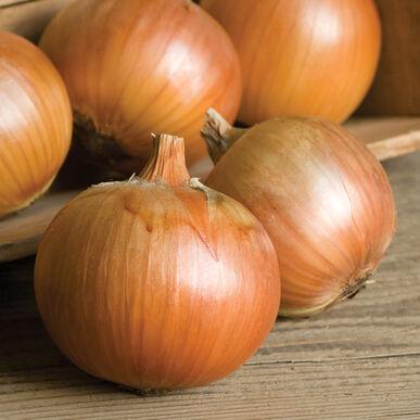 Patterson Onion Plants