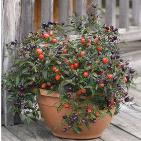 漂亮的紫色的胡椒粉,观赏