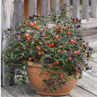 Pretty in Purple Pepper, Ornamental