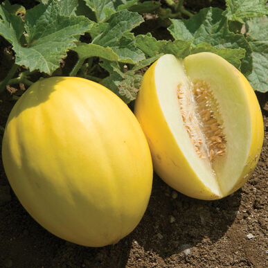 Brilliant Canary Melons