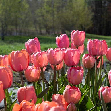 Design Impression Tulips