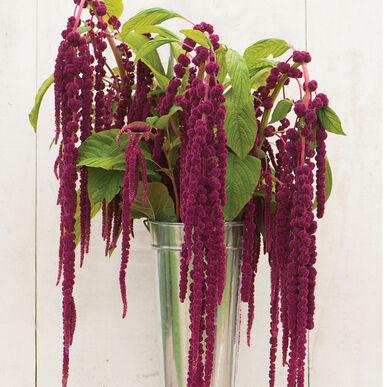 Love-Lies-Bleeding Amaranthus