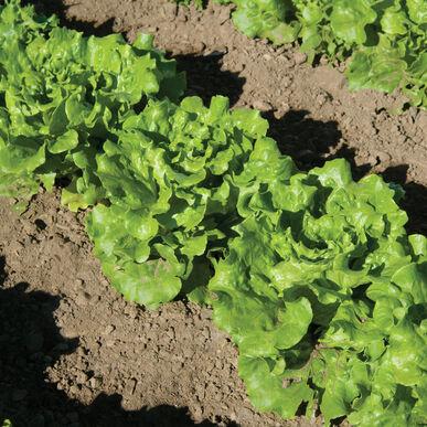 Nevada Summer Crisp Lettuce (Batavia)