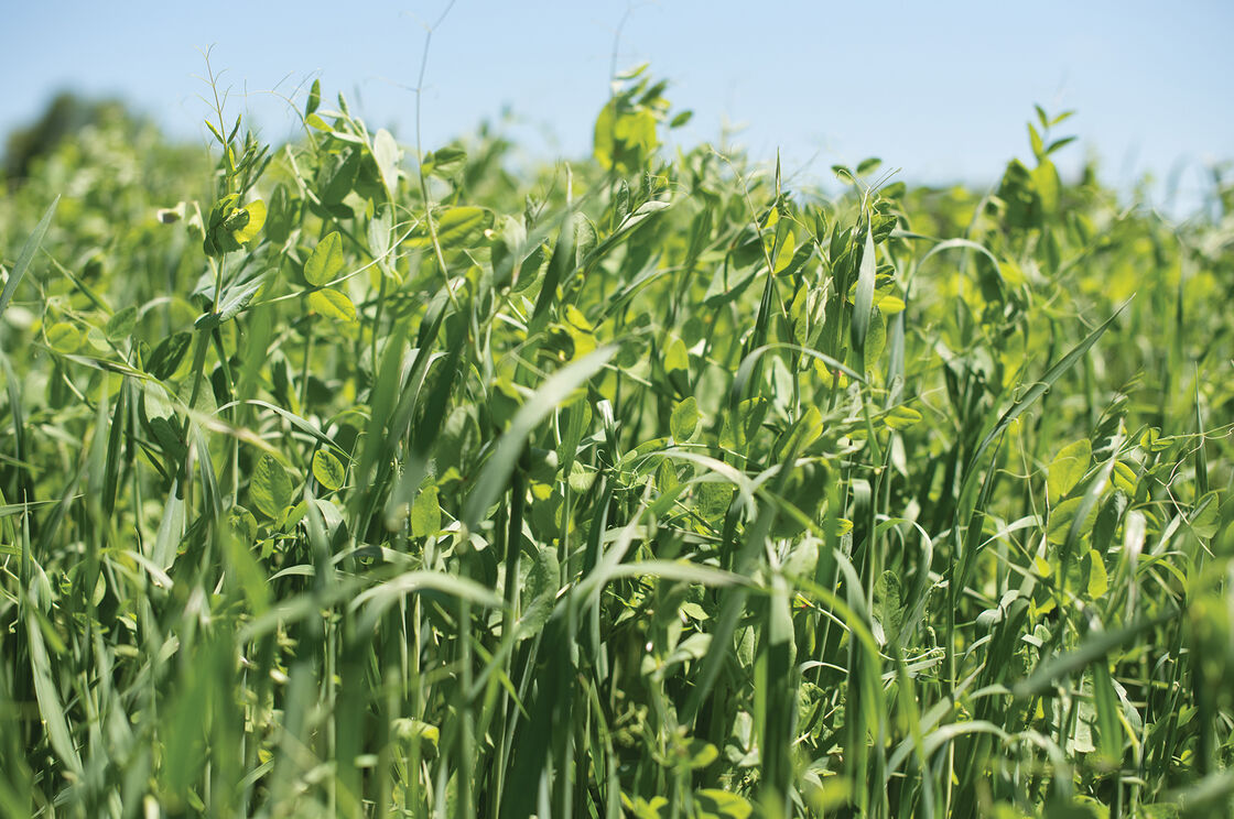 Peas & Oats Mix - Organic Cover Crop Seed | Johnny's ...