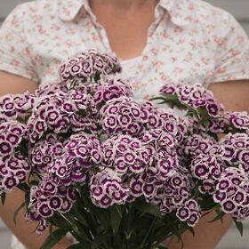 甜紫白双色石竹(甜威廉)