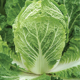 Bilko Chinese Cabbage